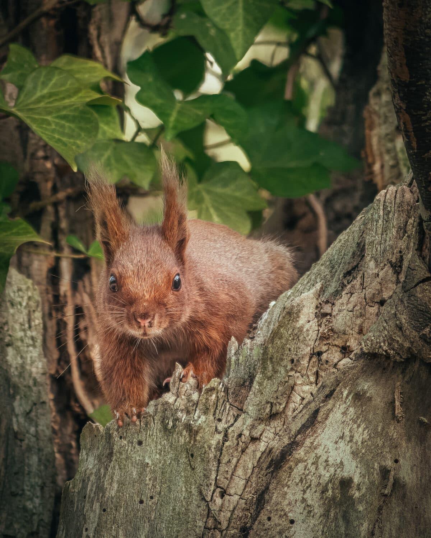 un écureuil caché dans un arbre regarde l'objectif